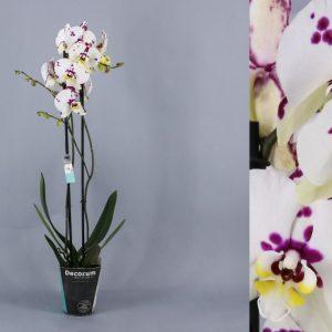Orquidea jaspeada