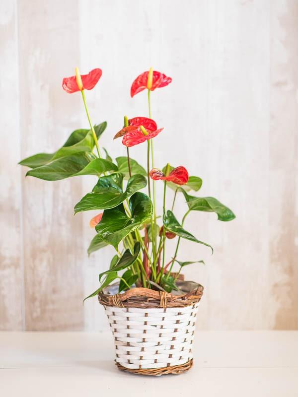 Anthurium (rojo, blanco, verde)
