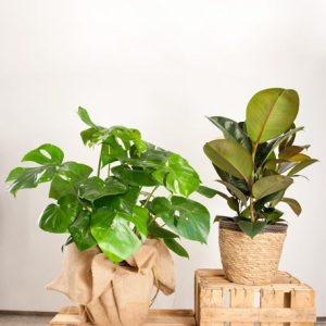 Monstera deliciosa + Ficus Elastica