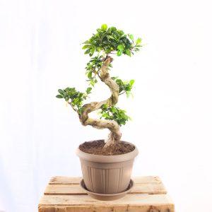 Comprar Bonsai Ficus a domicilio en Toledo.