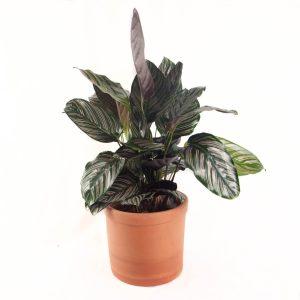Comprar Calathea planta de interior a domicilio en Toledo.