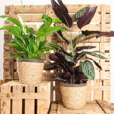 Dúo de plantas
