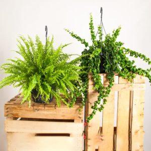 Pack de plantas colgantes