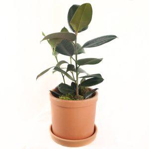 Comprar Ficus Elástica a domicilio Toledo.
