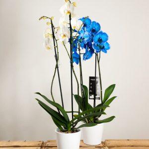 Dúo de orquídeas a domicilio en Toledo.