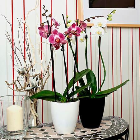 Orquídeas a domicilio en Toledo